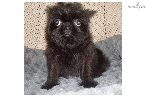 brussel griffon puppies for sale brussels griffon puppy for sale near fayetteville arkansas 8ae48889 bf21