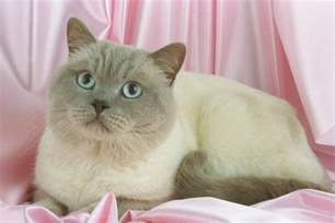 what color are cats colorpoint shorthair cat breed pictures fimho