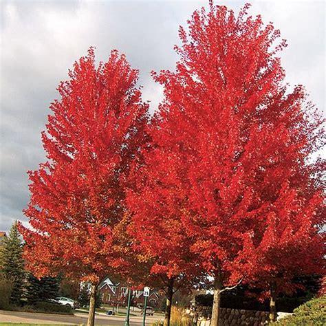 maple trees hardiness zone 4 freeman maple acer x freemanii zones 4 7 a hybrid maple with brilliant orange fall color