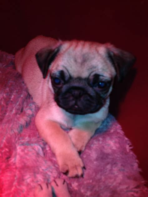 pug puppies for sale in kent beautiful pug puppies for sale canterbury kent pets4homes