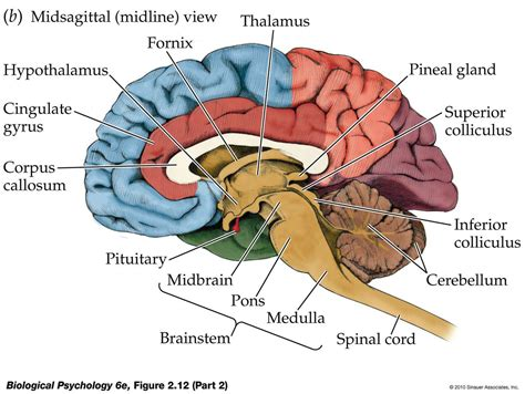 midsagittal section of the brain diagram sagittal plane brain amygdala google search