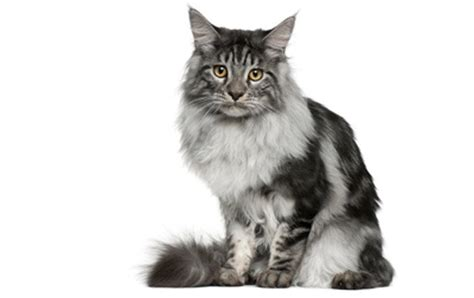ragdoll vs maine coon 5 of the most popular cat breeds around the world cattime