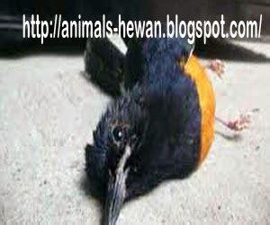Tempat Makan Burung Murai cara menambah nafsu makan burung murai batu dunia binatang