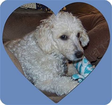tulsa adoption tulsa ok bichon frise poodle miniature mix meet adopted il a