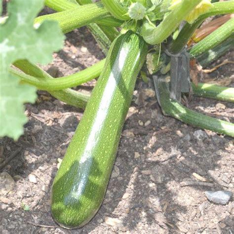 Planter Des Courgette by Cultiver Des Courgettes Au Potager Bio