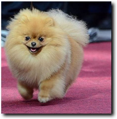 best pomeranian haircut haircuts for pomeranians 25 best ideas about pomeranian haircut on