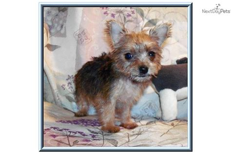 yorkie poo rescue va teacup yorkie puppies for sale in va breeds picture