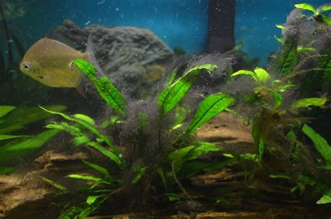 black beard algae fishtanktv
