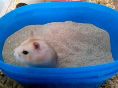 sanding a bathtub cute baby hamster sand bath youtube