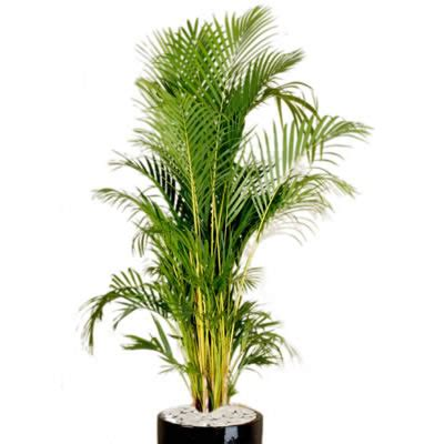 Bamboo Plant Diseases - plant info golden cane palm indoor plant hire tropical plant rentals