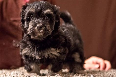 puppyfind havanese havanese puppies for sale havanese puppy for sale havanese breeds picture