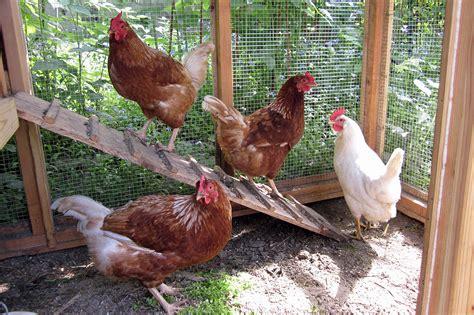 backyard chicken keeping southern harvest