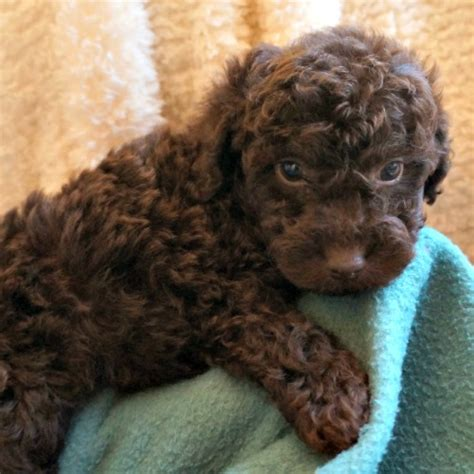 mini chocolate doodle rainmaker ranch labradoodles fl breeds picture