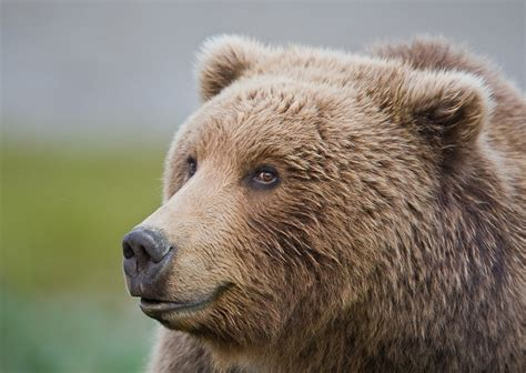 Bears Smile grizzly bears of yellowstone national park pgcps mess