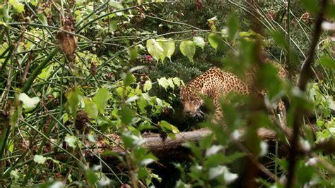 pronunciation of jaguar