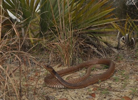 Found A Snake In Backyard by Eastern Coachwhip Snake Florida Backyard Snakes