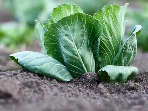 Vegetables To Grow In Winter Garden Cabbage Photos Pics What To Grow In Winter Vegetable Garden
