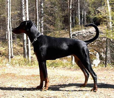 how to a doberman to be a guard guard
