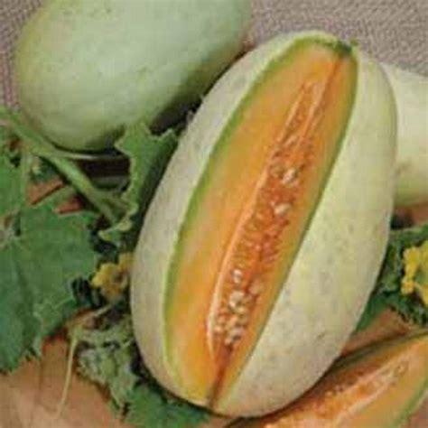 Benih Bibit Rock Melon Dainty bibit benih melon melba lonjong jual tanaman hias
