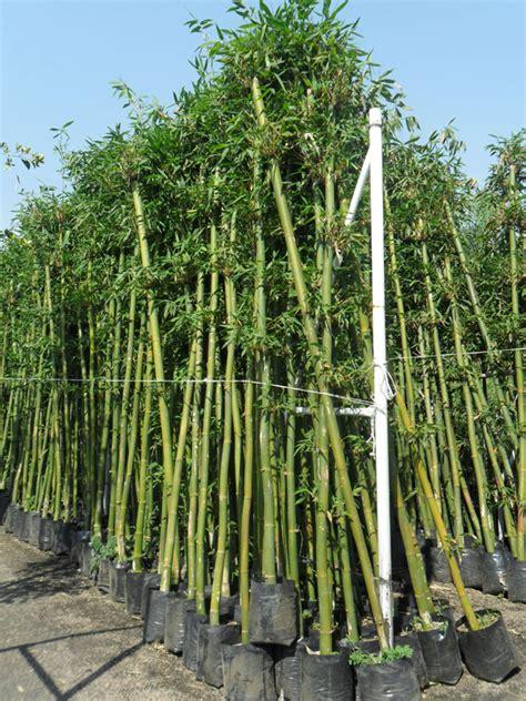 Bibit Pohon Bambu kebun bambu pohon bambu