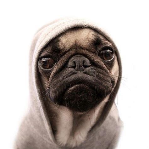 pug chose me i didn t choose the pug the pug chose me imgur