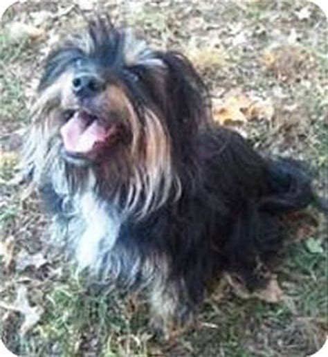 havanese yorkie mix dogs oswego il havanese yorkie terrier mix meet josie a for adoption