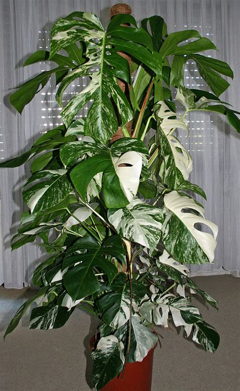monstera deliciosa fensterblatt zimmerpflanzenlexikon