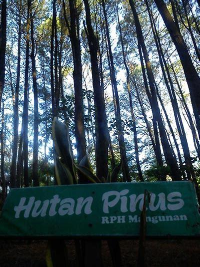 hutan pinus mangunan hutan pinus istimewa buruanco