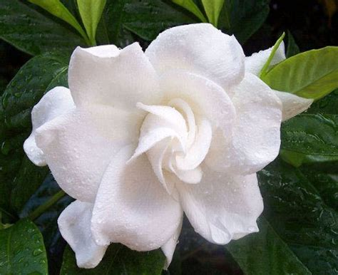 fiori profumati elenco dei fiori pi 249 profumati mondo