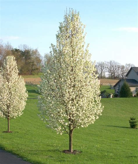 trees for small backyards cleveland select chanticleer pyrus calleryana