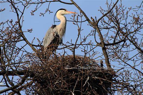 graureiher nest foto  gestruepp vogelkopf schwarze