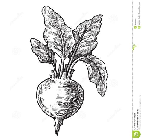 hand drawn of beet stock vector image 44465801