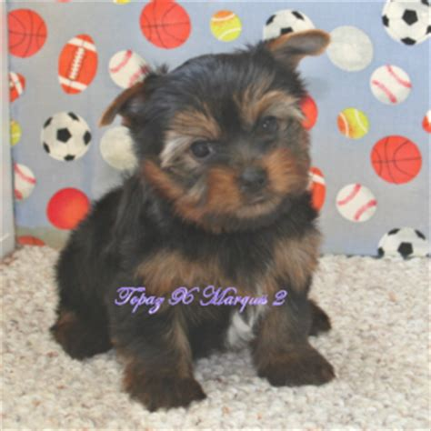 teacup yorkie pomeranian mix for sale white teacup pomeranian puppies for sale uk 217jpg breeds picture