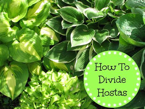 how to divide hostas