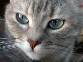 Fondos de Gato de ojos grises | Fondos de pantalla de Gato de ojos ... Gato