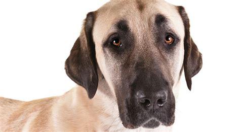 akc puppy anatolian shepherd breed information american kennel club