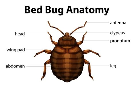 Do Bed Bugs Antennas by 10 Popular Bedbug Q As What Does It Look Like Pestwiki