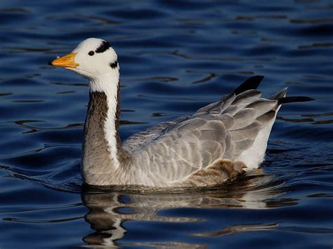 birds of par beach pool st austell cornwall wildlife