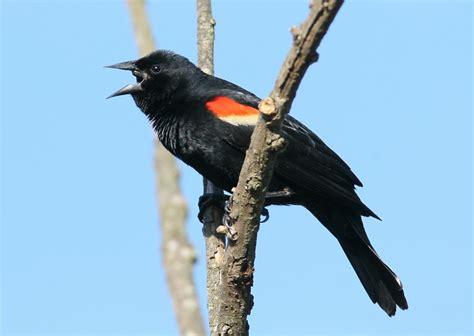 maryland biodiversity project red winged blackbird