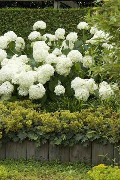 Wanneer Snoeien Hortensia by Finest Met Weelderige Bloei Passen Hortensiaus