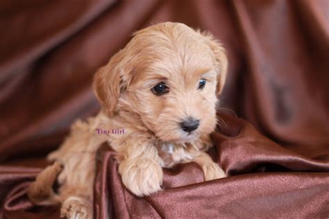 goldendoodle puppy chewing san diego goldendoodle breeder tiny adorable