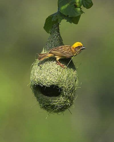 yellow bird weaving nest feathers pinterest