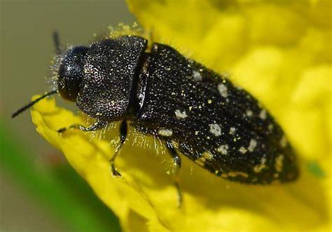 bed bugs black spots black beetle white spots acmaeodera ornatoides bugguide net
