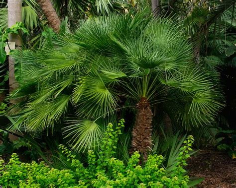 fan palm care gardensonline chamaerops humilis