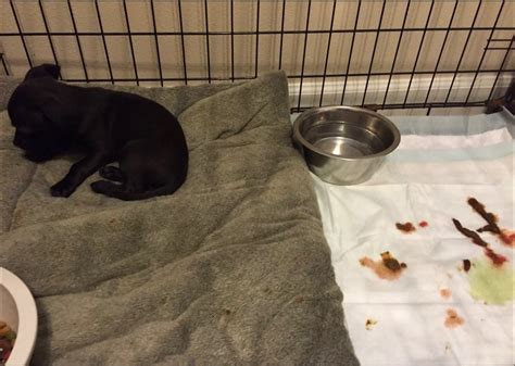 Blood In Stool In Dogs Causes by Thurston County Rescue Turns Family S Fostering Experience Into A Nightmare