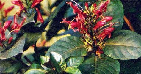 tradisional sehat khasiat handeuleum daun wungu