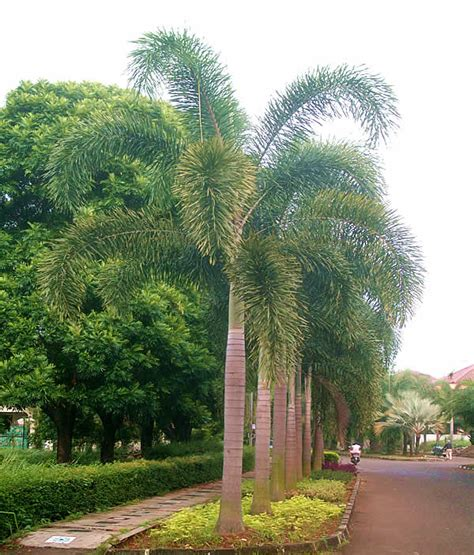 street palm trees for landscape ideas agit garden