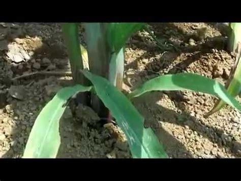 Budidaya Jagung Organik budidaya jagung hibrida secara organik hasil meningkat