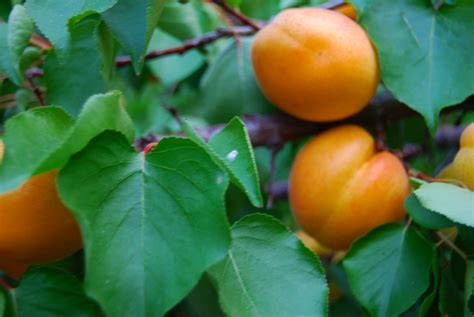 apricot fruit trees care of apricot trees facts about apricot tree care
