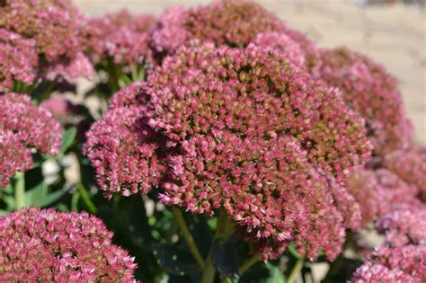 fall flowering perennials add needed color to your landscape